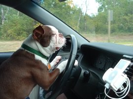 40 Cool Dogs Driving Cars