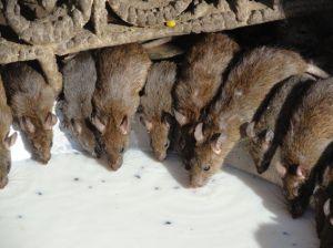 Rats - Fukushima